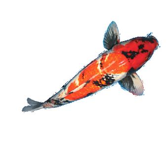 for Koi fish dealers